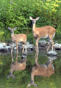 cropped-deer-and-water-source1.jpg